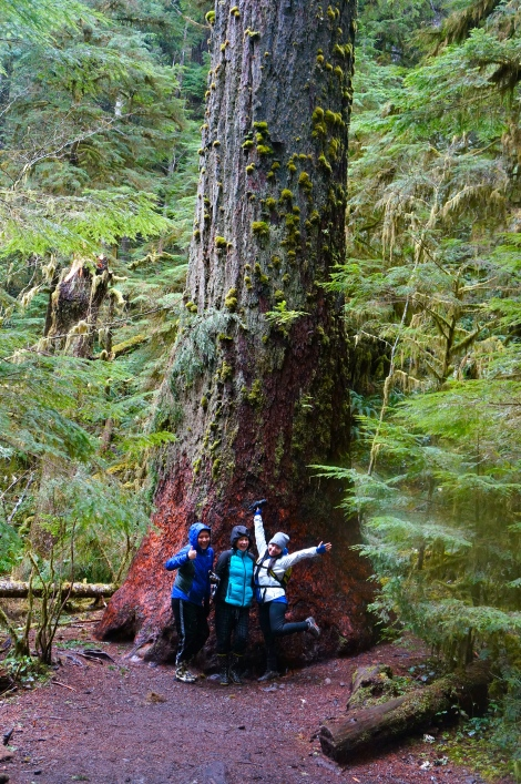 Huge tree on the hike to Marymere Falls.