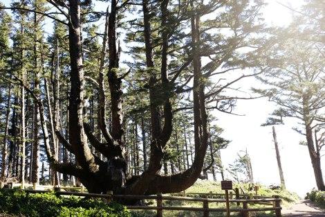Octopus Tree, Oregon Coast road trip