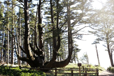 Octopus Tree, Oregon Coast road trip