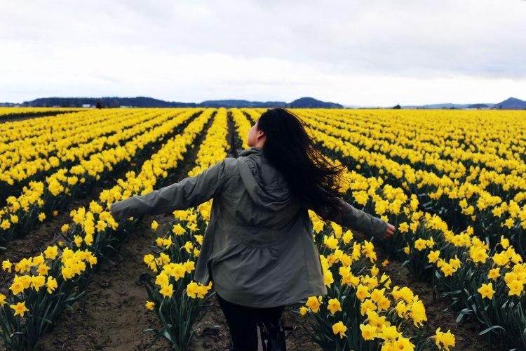 daffodil fields, PNW, Washington