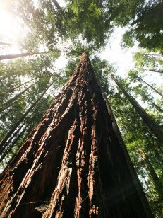 Oregon Redwoods
