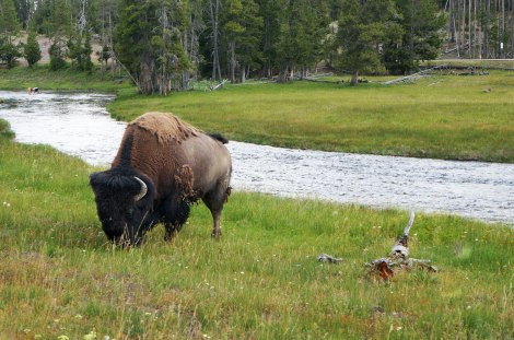 Yellowstone, Wyoming, Montana, Bison
