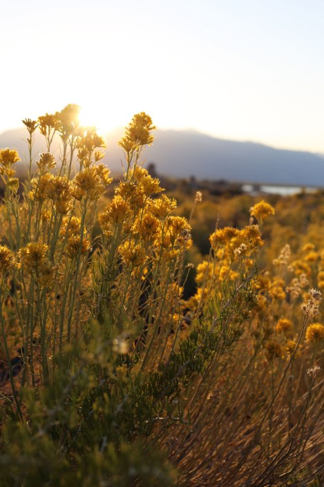 Mono Lake, Sierra Nevada, rabbitbrush