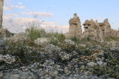 Mono Lake, Sierra Nevada, alkali flies